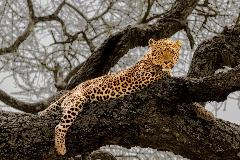Фотообои «Леопарды 25»