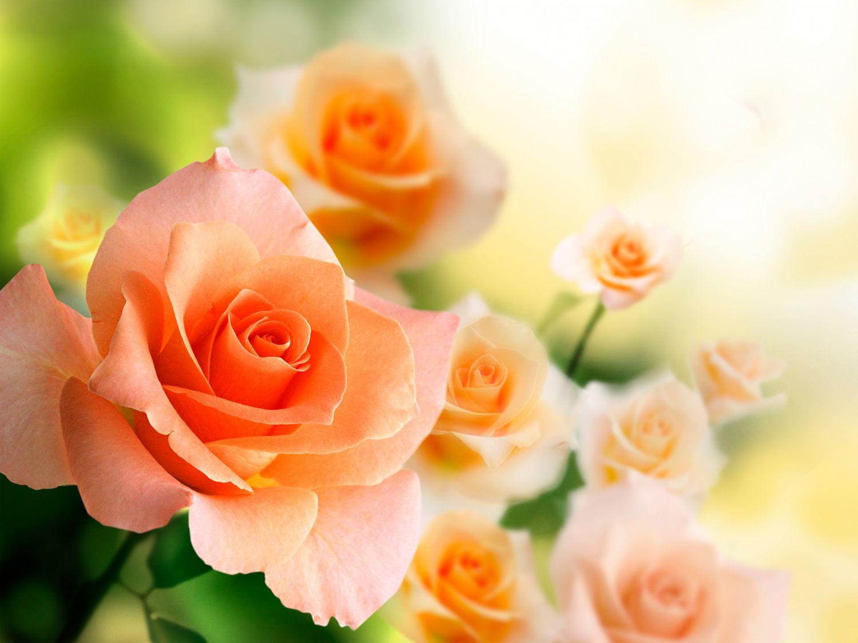 Фотообои «Персиковые розы»