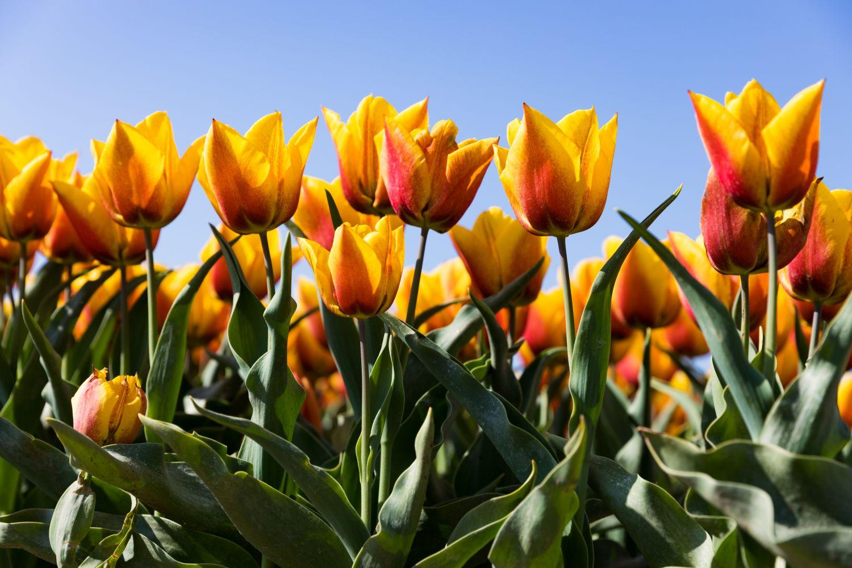 Фотообои «Красивые тюльпаны на фоне неба»