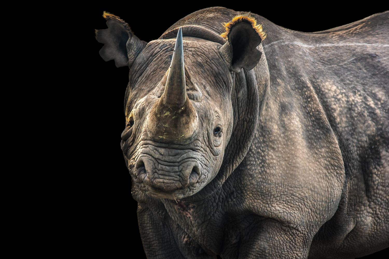 Фрески «Носороги 3»