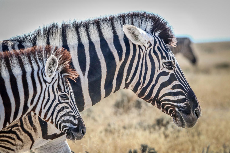 Фрески «Зебры 10»