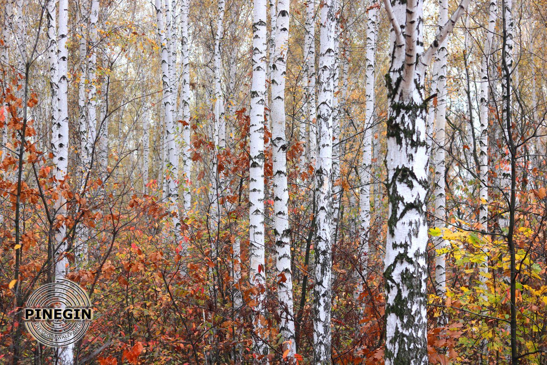 Фотообои «Березовый лес»