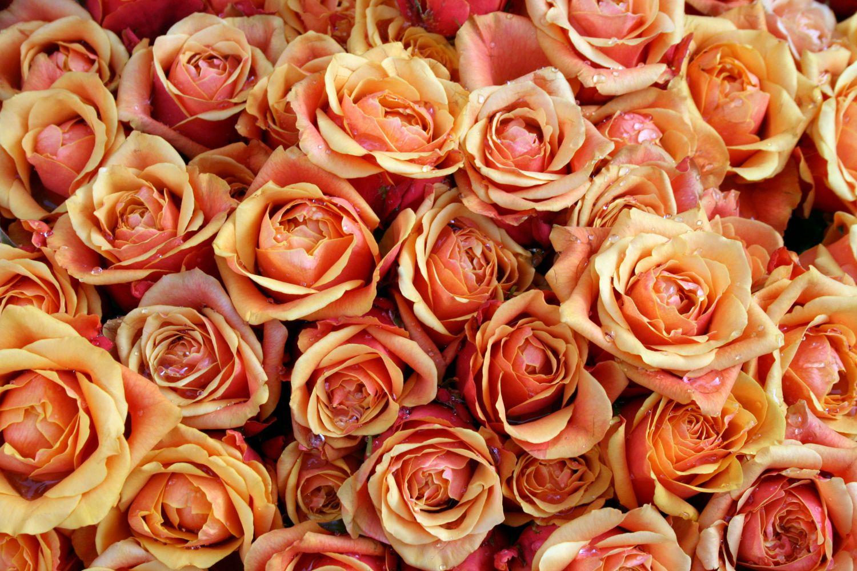 Фотообои «Красно-желтые бутоны роз»