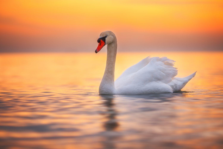Фотообои «Лебеди 4»