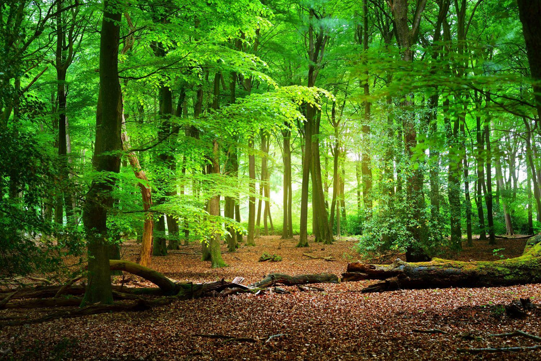 Фотообои «Зеленый лес»