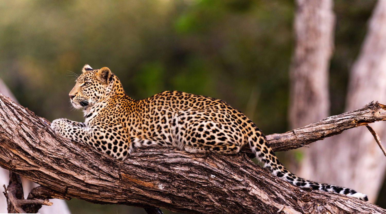 Фрески «Леопарды 9»