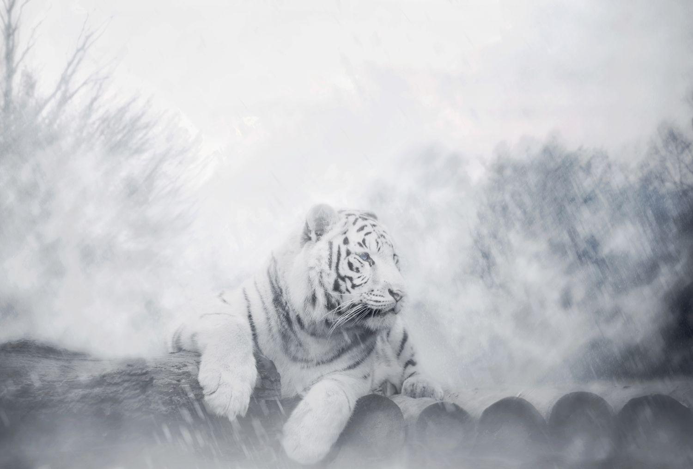 Фотообои «Тигры 2»