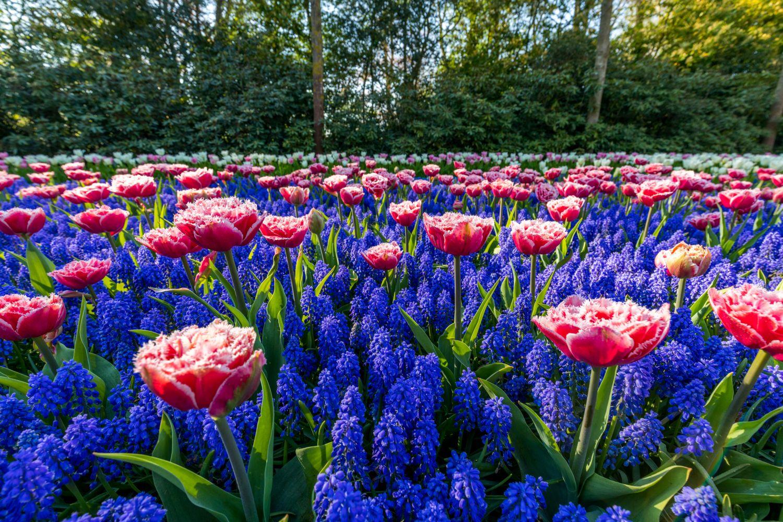 Фотообои «Поляна тюльпанов»