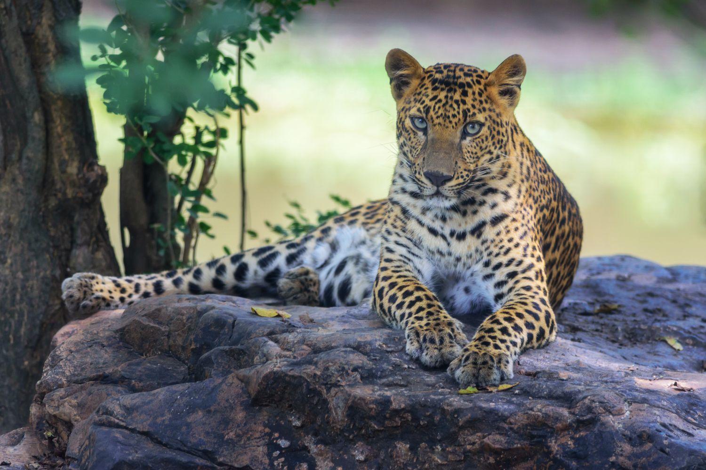 Фрески «Леопарды 13»