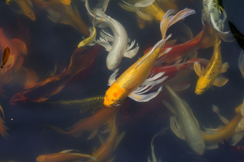 Фрески «Карпы Кои в пруду»