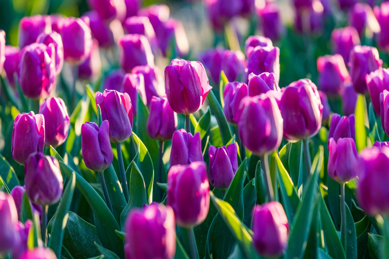 Фотообои «Фиолетовые тюльпаны»