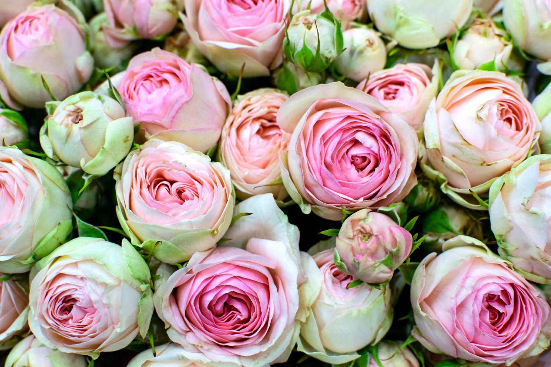 Фотообои «Белые розы 13»