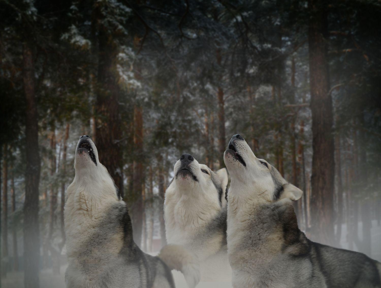 Фотообои «Волки 3»