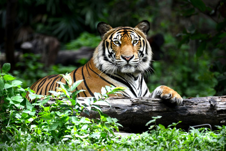 Фотообои «Большой тигр»