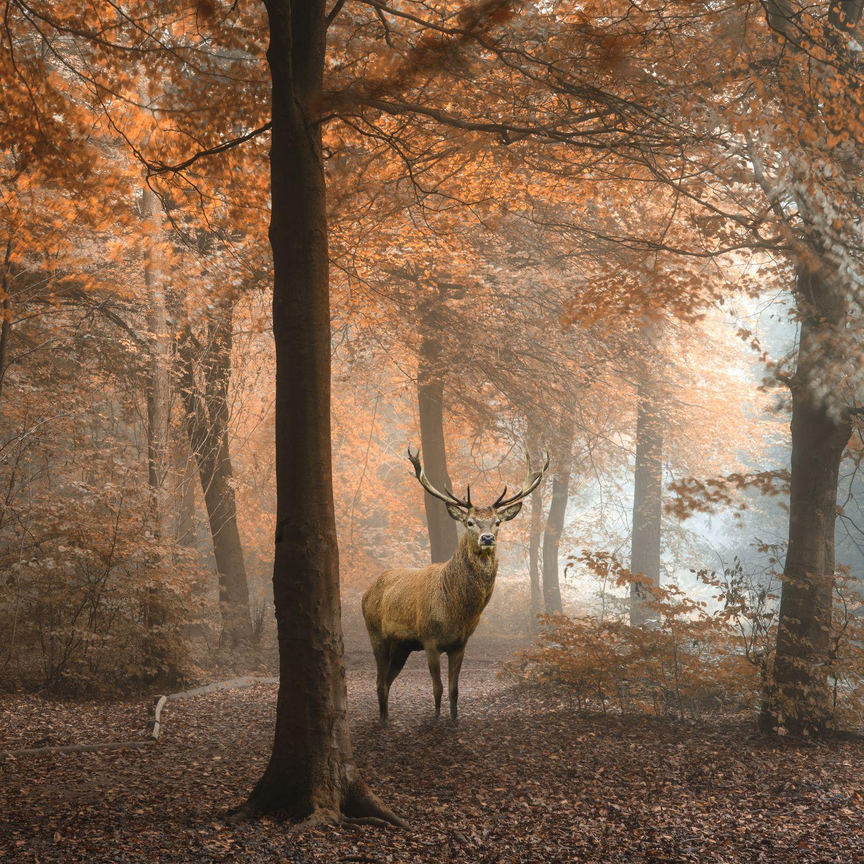 Фотообои «Олень в лесу»