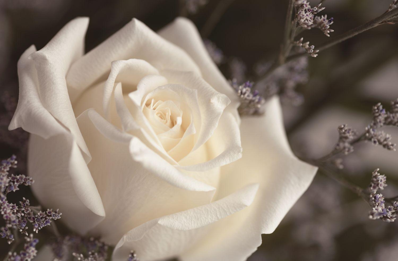 Фотообои «Белые розы 6»