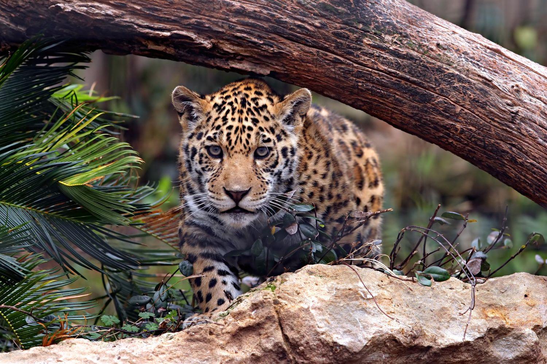 Фотообои «Леопард на охоте»