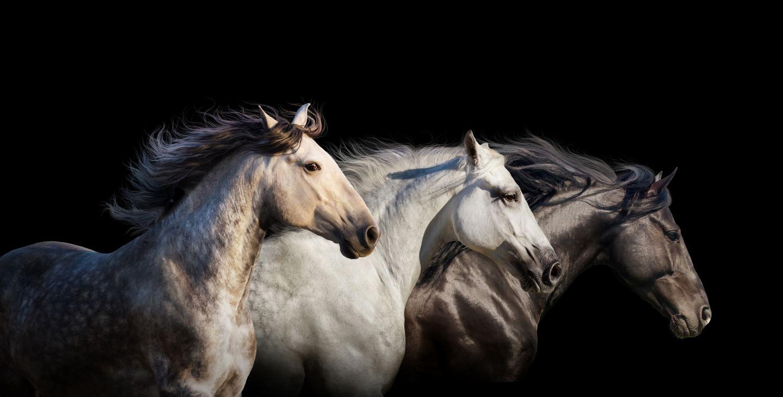 Фотообои «Чистокровные лошади»